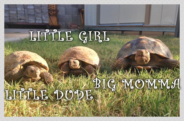 Little Dude, Little Girl and Big Mamma turtle